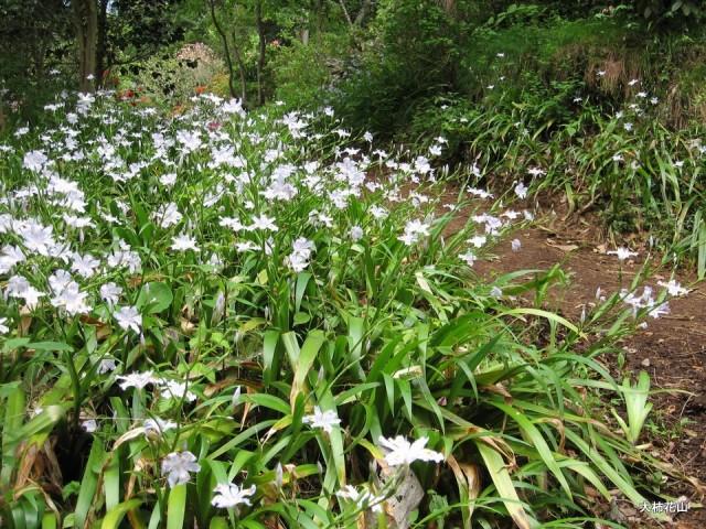シャガ 浦島草、オダマキ、シャガ 2007.5.4 | 花山の四季