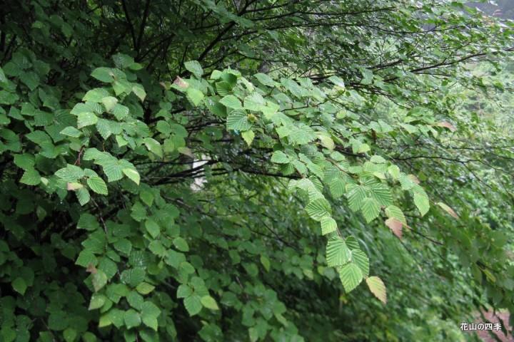 ヒュウガミズキ(日向水木) 葉 : 黄色 黄緑 : すべての講義