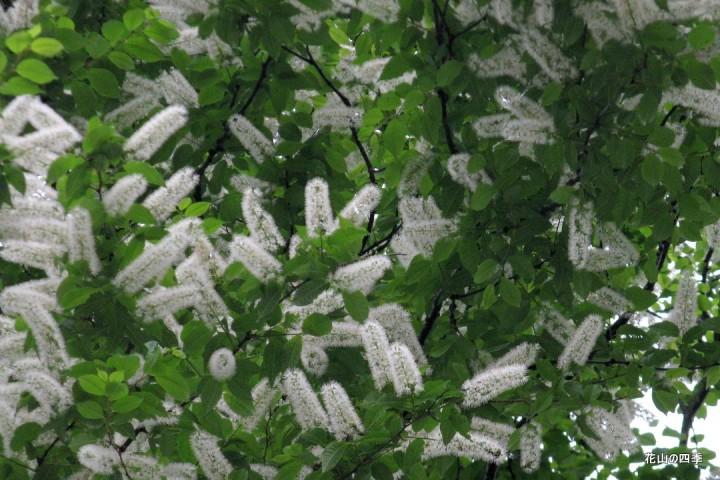 ウワミズザクラの画像 p1_35